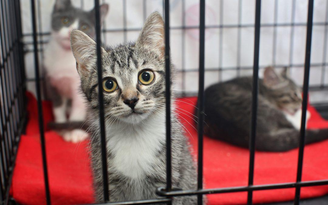 Before Adopting A Cat