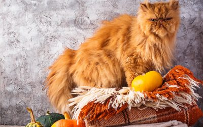 Persian one 50 Popular Cat Breeds
