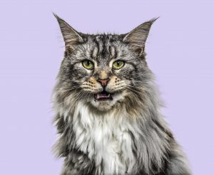 Meowing Too Much Main Coon Cat