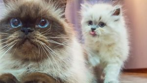 White Kitten with adult cat