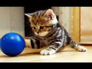 Blue ball Kitten Cat New Biz