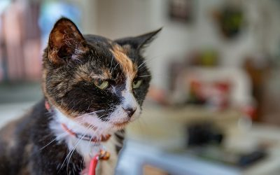 Senior Cat Tordy with collar
