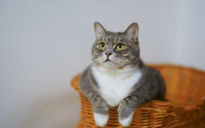 Grey White Cat basket look at Cat Sitter