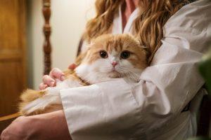 Orange White cat lap of cat sitter